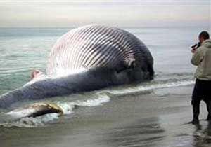 Mavi balınaların sesi kesildi