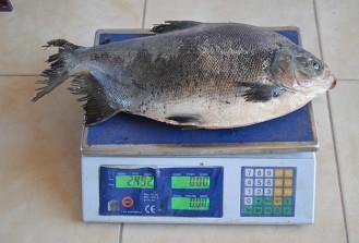 İznik Gölü'nde 2,5 kilogramlık pirana yakalandı