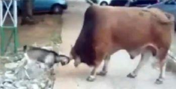 Boğa mı keçi mi ?