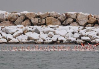 Kar ve soğuktan etkilenen yüzlerce flamingo barınağa sığındı...