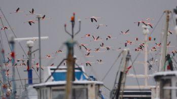 Flamingolar balıkçı barınağını mesken tuttu