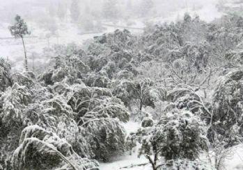 Mut'ta 20 yıl sonra yağan kar 400 bin zeytin ağacına zarar verdi