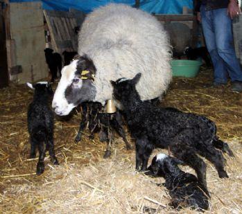 İthal ettiği koyunlardan 6'sı beşiz doğurdu