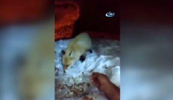 Aç kalan tilkiyi eliyle besledi