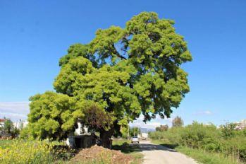 300 yıllık anıt ağaç için seferberlik