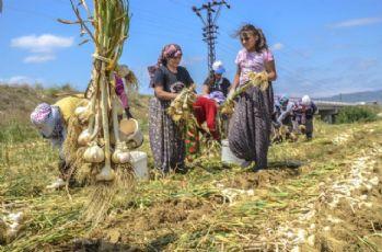 Sarımsağın ana vatanı Taşköprü'de hasat başladı