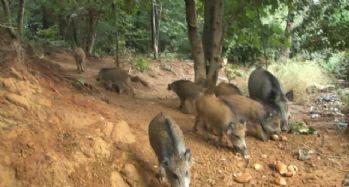 İstanbul'da domuz sürüsü şehre indi