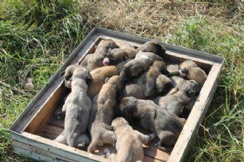 Tek batında 17 yavru doğurdu