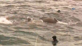 Sri Lanka'da filler denizde kurtarıldı