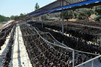 Amerika'nın 'Silikon Vadisi'ne Nazilli'den rakip; Patlıcan Vadisi