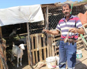 Çalınan keçilerden geriye zilleri kaldı