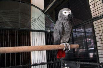 Hırsızlık çetesi bu papağan sayesinde çökertildi