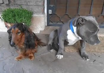 Azar işitirken yerin dibine giren sevimli köpekler!