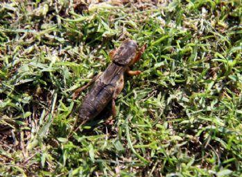 Samsunspor tesislerini dev böcekler bastı