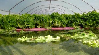 Havuzlu sistemde su üstünde yetişiyor