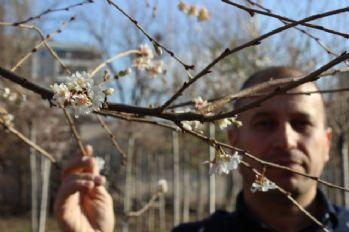 Aralık ayında ağaçlar çiçek açtı