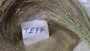 İşte dünyanın en küçük tahılı: Teff