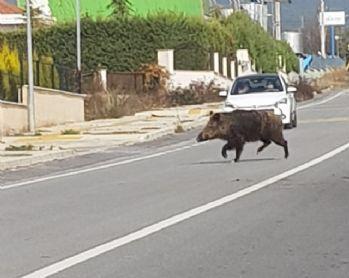 Yaban domuzları şehre indi