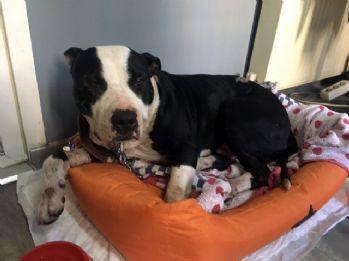 Köpeğine saldıran pitbull'u bıçakladı