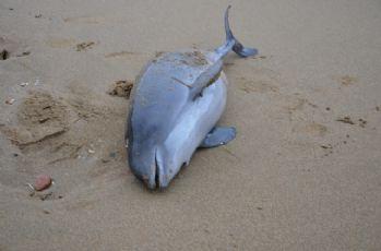 Yunuslar sahile vurdu