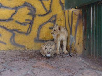 Erdoğan'ın aslanlarının Gaziantep yolculuğu