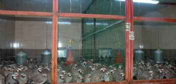 12 bin kınalı keklik doğaya salındı