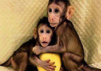 Dolly'den Sonra Bir İlk: Aynı yöntemle bu kez ikiz maymun klonlandı!