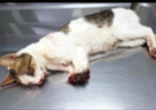 Marmaris'te 2 bacağı kesilmiş bulunan kedi uyutuldu