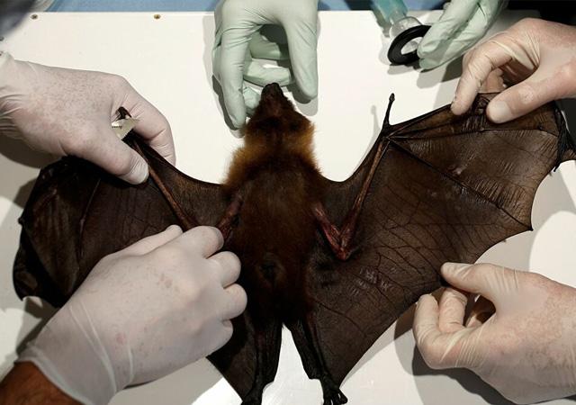 Vuhan'daki laboratuvar yarasalarda yaklaşık 1.500 koronavirüs türü saptadı