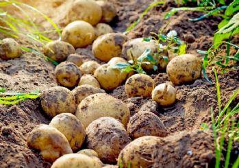 Patates tarlada 1,4 liraya geriledi!