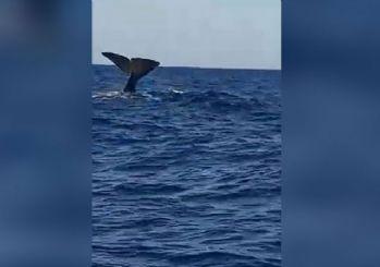 Alaçatı'da balina sürprizi!