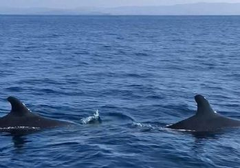 Kuzey Ege'de ilk kez yalancı katil balina görüldü