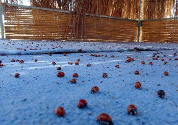Saros Körfezi'nde uğur böceği istilası