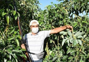 Adeti 10 liradan satılan avokado hırsızların hedefi oldu