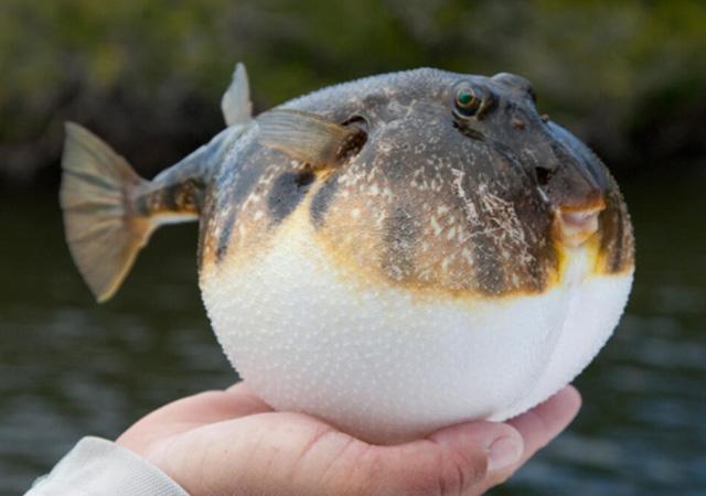 Resmi Gazete'de yayınlandı: Balon balığı avlayana para verilecek