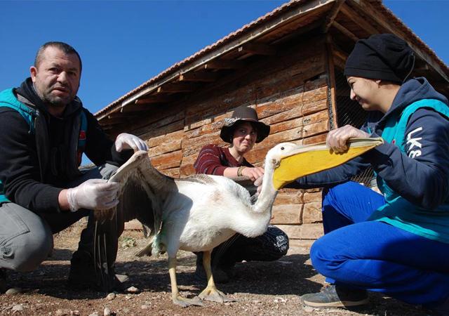 Yaralı pelikan Burdur'da tedavi altına alındı