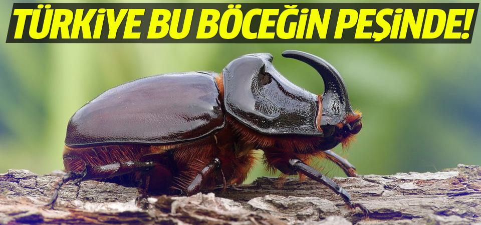 Türkiye gergedan böceğinin peşinde