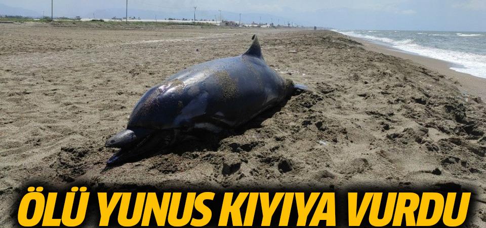 Hatay'da ölü yunus kıyıya vurdu